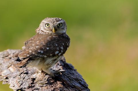 Little owl - daytime!