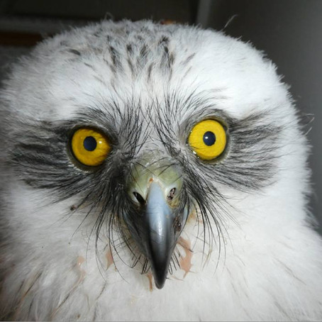 Beecroft Powerful owl - a story of survival