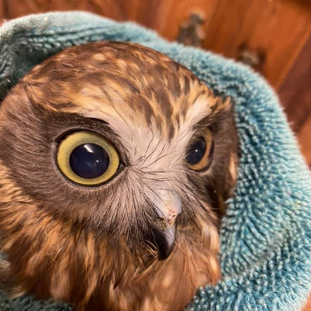 Australian Boobook. Small owl- huge spirit