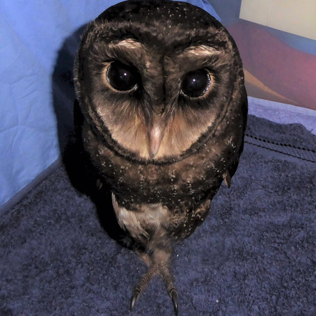 Greater Sooty owl brings carers together