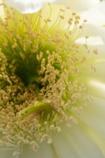 Organ Pipe Bloom