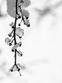 Ice Twig