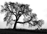 Lone Oak at Bowman Homestead