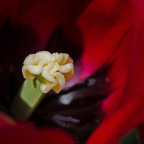 Pistil in Red