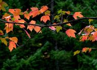 Lyrical Maple