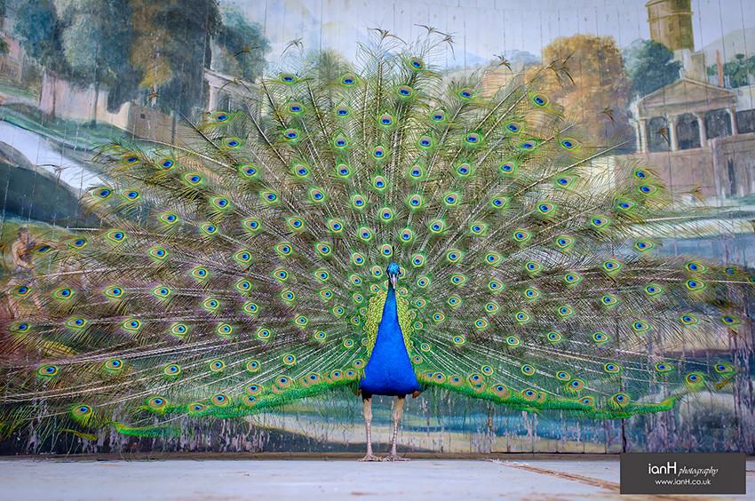 Larmer Tree Gardens peacock