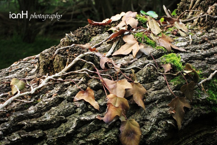Fallen tree with ivy growing on the trunk