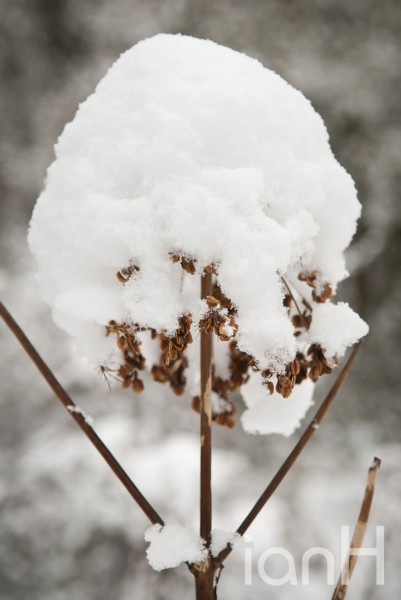 Snow covered plant creates an ice-cream cone - Dorset photographer