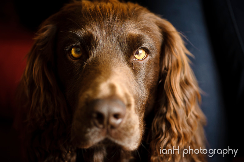 Working_Cocker_Spaniel_photograph_Dorset_portrait_photographer