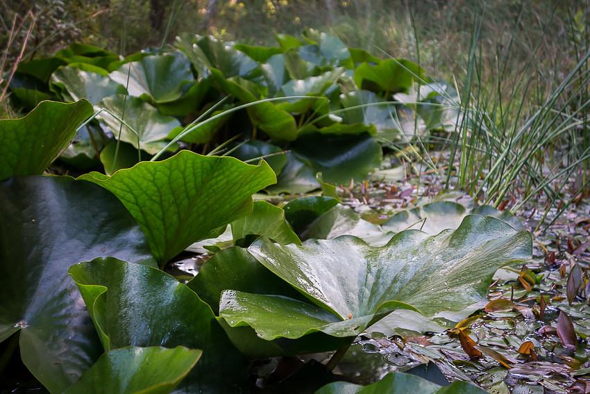 Woodland pond lily