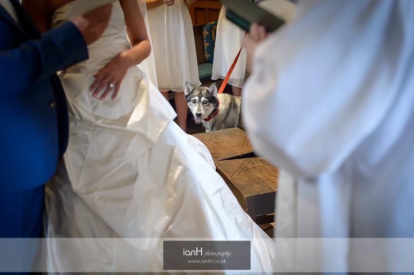 Husky at a Studland wedding
