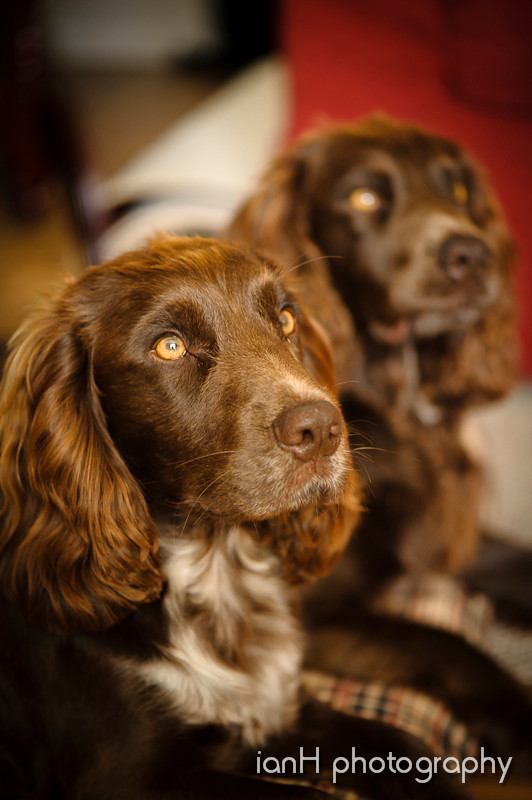 Attentive_working_cocker_spaniels_dorset_portrait_photographer