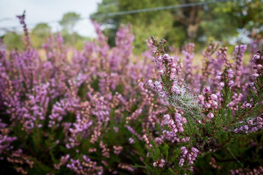 Spiders webs on woodland heather