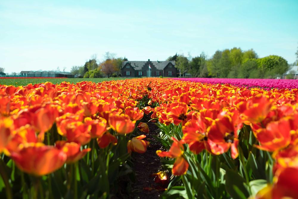 Wedding photoshoot destination: Netherlands tulip fields with bright orange tulips