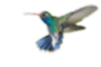 Hummingbird-PNG-02_edited.png