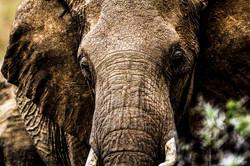 DavidCrookes-WildLifePhotographer-Elephant-Kenya-13-1768
