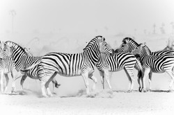 DavidCrookes-WildLifePhotographer-Zebra-