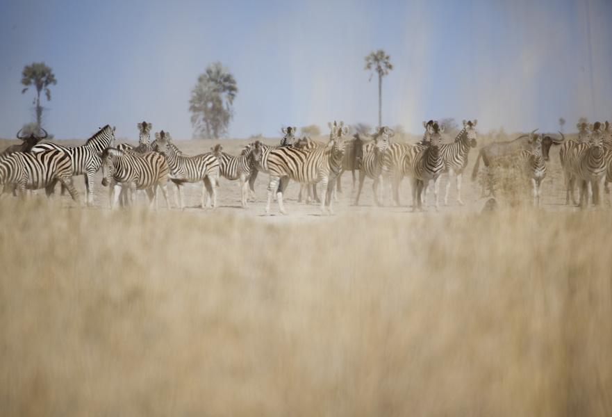 David Crookes | Botswana | Zebra