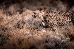DavidCrookes-WildLifePhotographer-Cheeta-15-0112