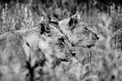 DavidCrookes-WildLifePhotographer-Lions-12-0120