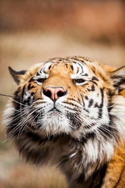 DavidCrookes-WildLifePhotographer-Tiger-12-8619