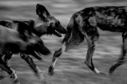 David Crookes | Botswana | Wild Dogs