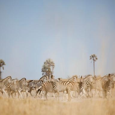 DavidCrookes-WildLife-Zebra-Botswana-12-