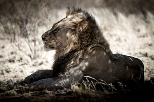 Crookes&Jackson - The Black Maned Lion of the Kgalagadi, South Africa-Botswana border. Found