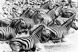DavidCrookes-WildLife-Zebra-EtoshaPan-12