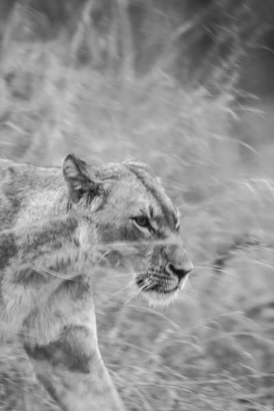 DavidCrookes-WildLifePhotographer-Lion-12-2