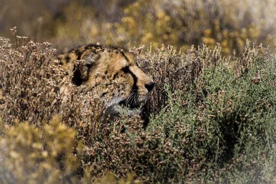 David Crookes | Cheetah