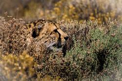 David Crookes   Cheetah