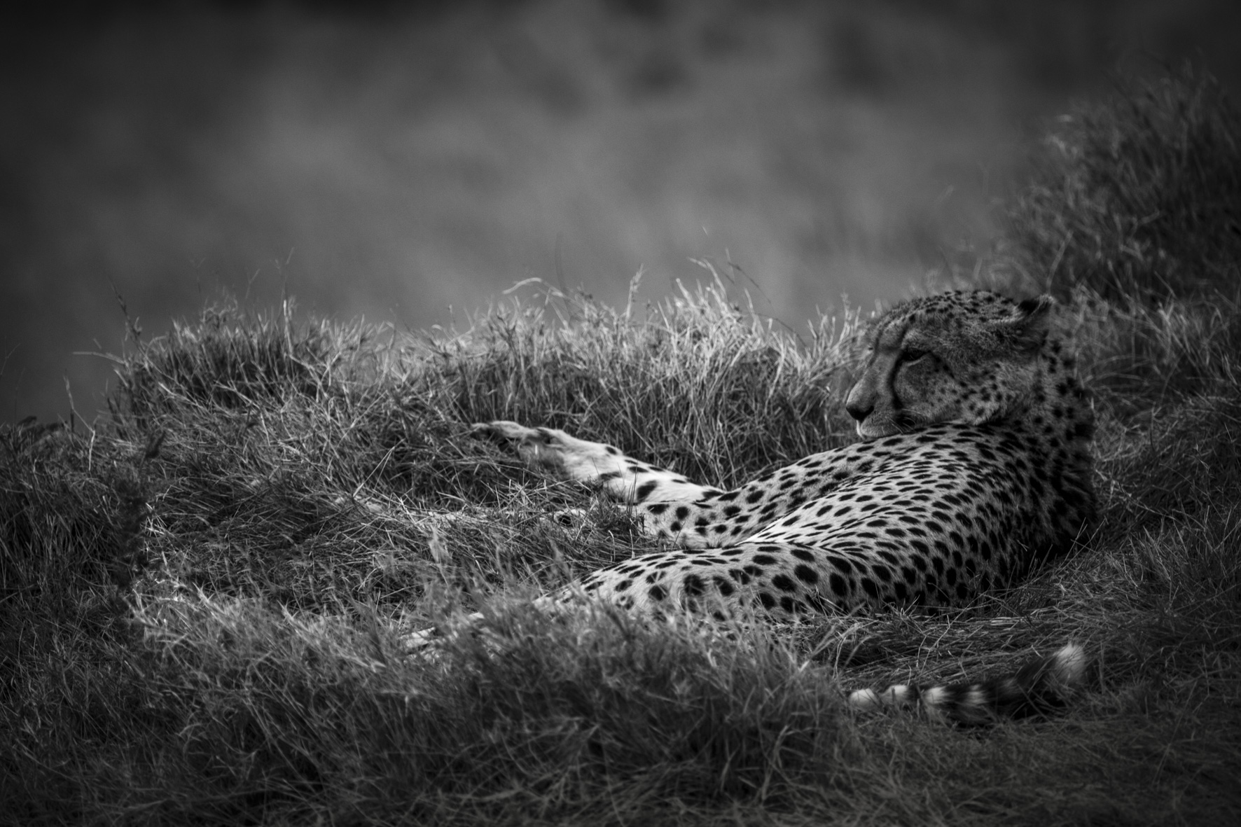 David Crookes-Cheetah
