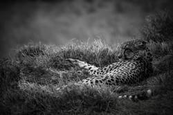 David Crookes-Cheetah