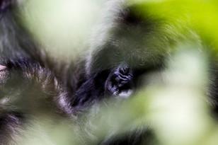 Gorillas in Rwanda | Crookes&Jackson