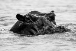 David Crookes   WildLife   Hippo