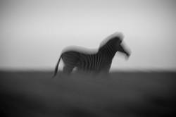 DavidCrookes-WildLife-Zebra-12-7799