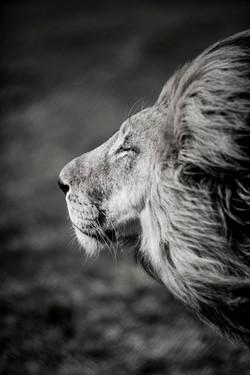 DavidCrookes-WildLifePhotographer-Lion-12-8512