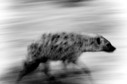 DavidCrookes-WildLifePhotographer-Hyena-