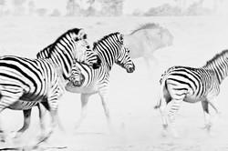 DavidCrookes-WildLife-Zebra-Botswana-12-8344