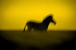DavidCrookes-WildLife-Zebra-12-7799_edited