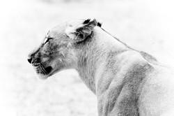 DavidCrookes-WildLifePhotographer-Lion-12-2730