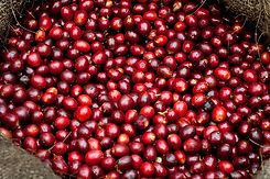 Coffee-Cherries-Coffee-Farm-El-Salvador.
