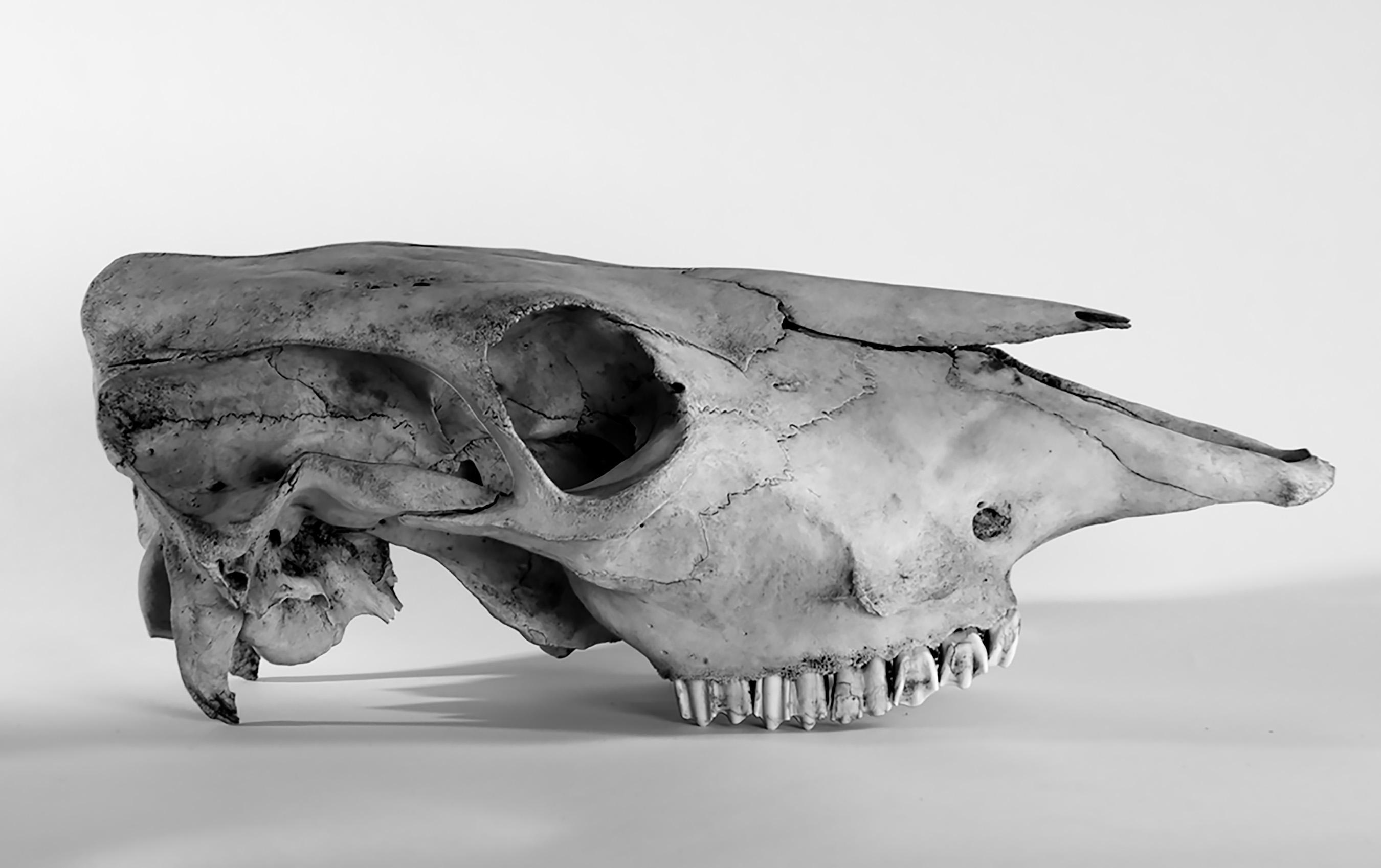 Cow Skull #1