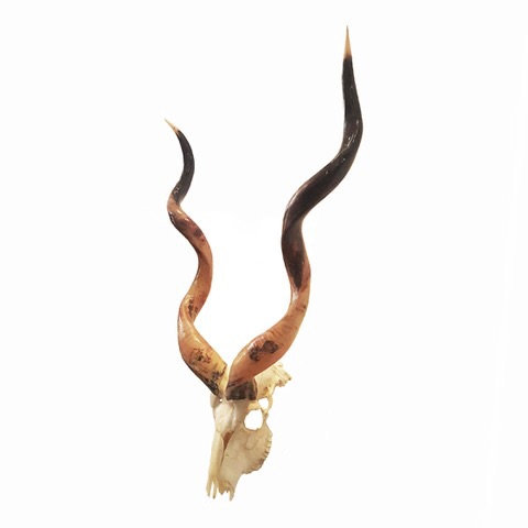 KUDU SKULL WITH POLISHED HORNS