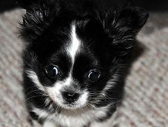 black male puppy.jpg