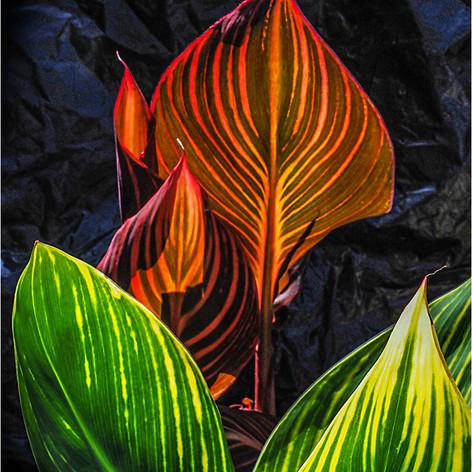 Sunlit Canna Leaves