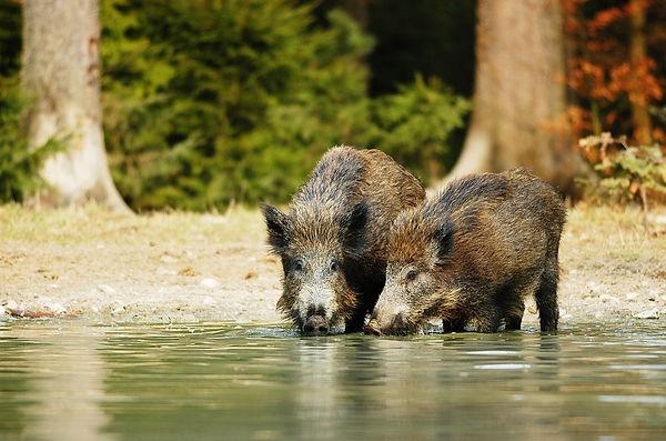 Trappenkamp Schweine.jpg