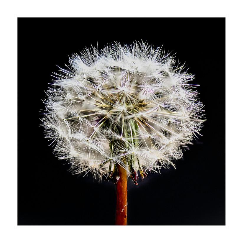 COLOUR - Dandelion by Brian Shields (11 marks)