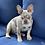"Thumbnail: Lilac Merle Tan point Male "" Sr.""Autom"